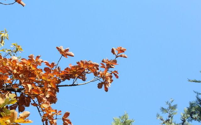 写秋天枫叶的唯美作文